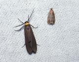 left- Yellow-collared Scape moth (Cisseps fulvicollis), right-unidentified