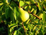 ripening in the sun
