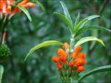 Leonotis flower