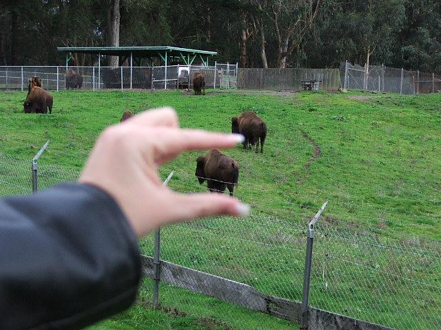 Miniature Buffalo in Golden Gate Park
