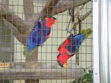 Western Black-Capped Lory