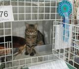 Sibirskajamoja Arcturos oli myös mukana. Arcturos is half brother of my cats.