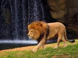 Lion 3539