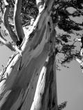 Shedding Eucalyptus