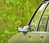 Prothonotary Warbler at Leesylvania Park, Prince William Co, VA
