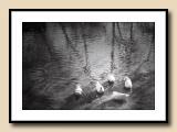 Circling Ducks