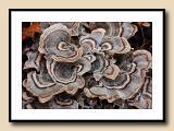 Scalloped Fungus