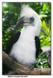 White-crowned Hornbill