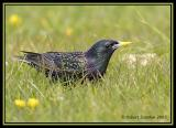 Common Starling 3