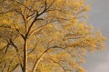 golden tree 4