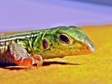 a lizard portrait by johann707