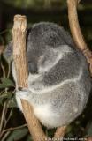 Sleeping Koala.jpg