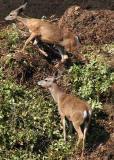 Deer - EricS