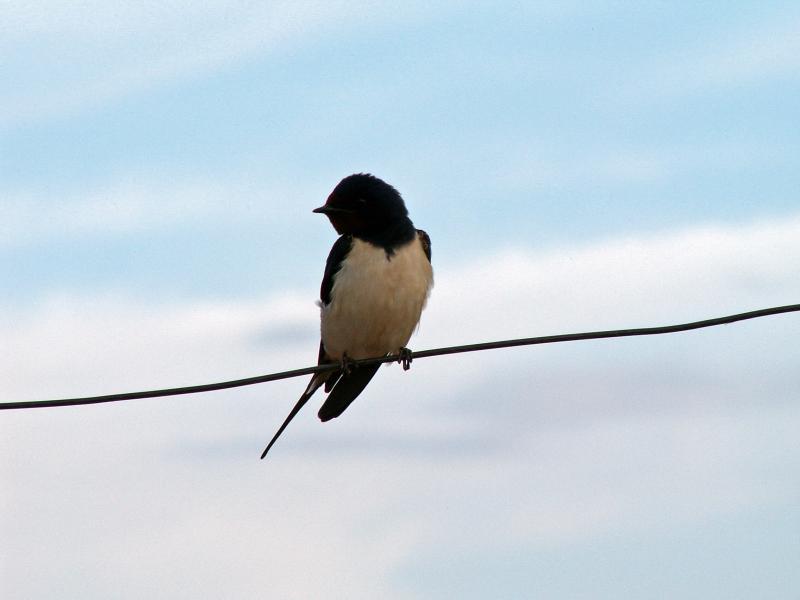 Andorinha-das-chaminés // Barn Swallow (Hirundo rustica subsp. rustica)
