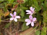 Maria-fia ou Erva-garfo (Erodium malacoides)