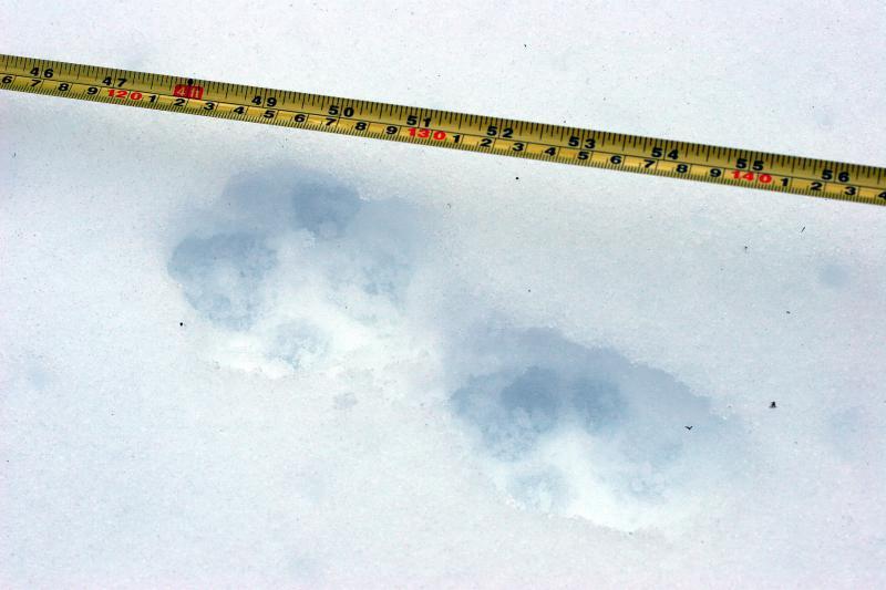 Coyote pawprint
