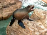 Talkative sea lion - Taken at Seaworld, San Diego, 2002