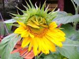 birth of a sunflower