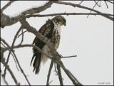 Red-tailed Hawk 1006.jpg