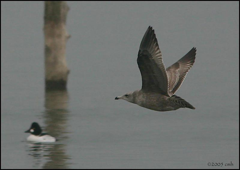 Herring Gull 2nd Winter 1311.jpg