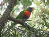 Rainbow Lorikeet on branch no flash