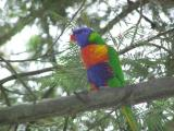 Rainbow Lorikeet on branch with flash