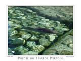 Harbor Porpoise 2