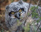Great Horned Owl  (juv)