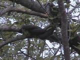 Watersnake tree on the Tay River - 1