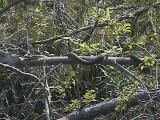 Watersnake tree on the Tay River - 2