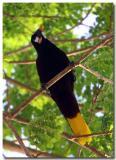 Pendulum Bird (Montezuma Oropendola)