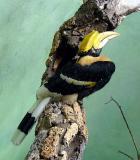 Concave Casked Hornbill