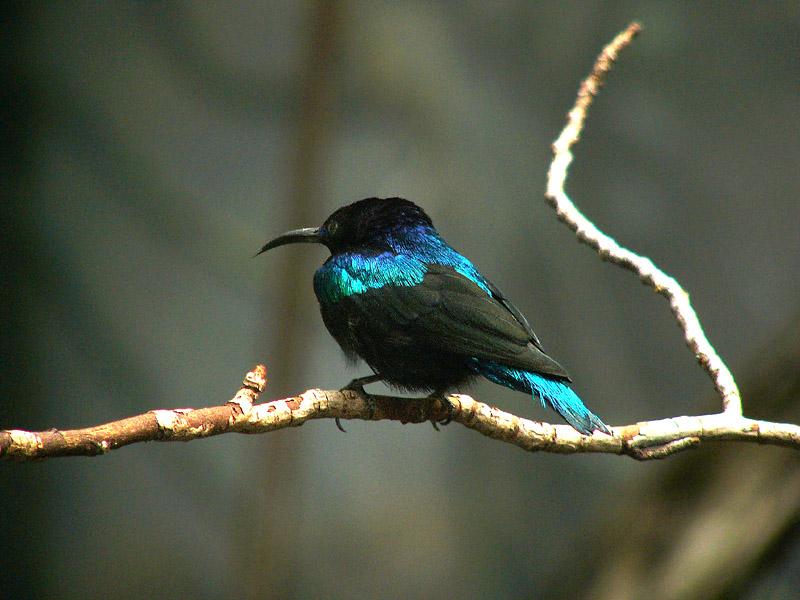 Israel Sunbird