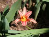 Tulip on West 10th Street near 5th Avenue