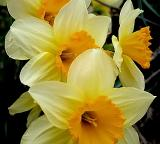 What to Do with Daffodils ?