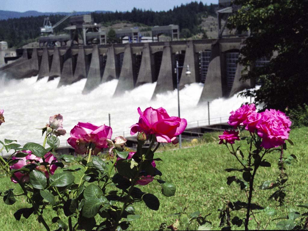 Roses overlooking the flood gates, Bonneville Dam, Oregon
