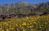 071 Desert Gold, mountains beyond_1120Ps`0503070852.jpg