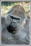 Gorilla - IMG_0985.jpg