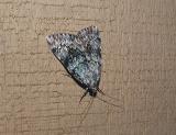 possible Old Wife Underwing (Catocala palaeogama)