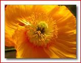 Poppy15