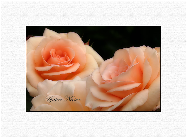 Apricot Nectar - simple frame