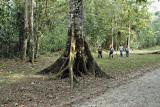 Base of Ceiba tree