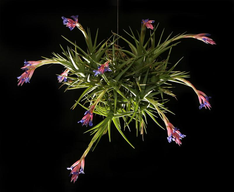 <i>Tillandsia aeranthos</i>