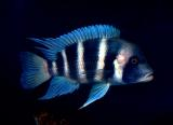 Blue Frontosa