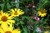 Bee in Daisies