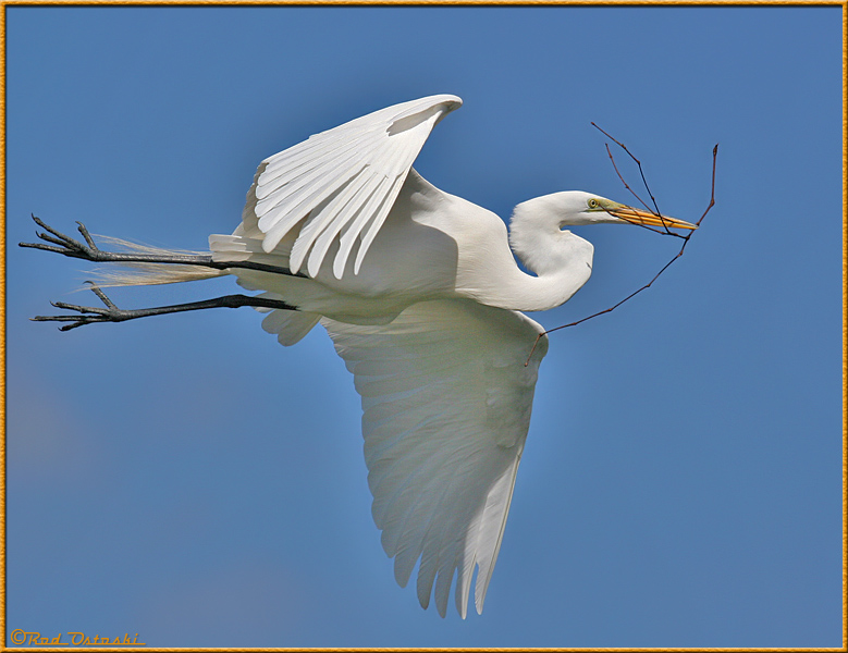 Egret returning to nest