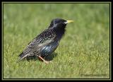 Common Starling 2
