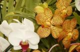 White Phaleonopsis and orange spotted Vanda