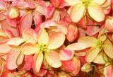Rainbow Shower (Cassia javanica x fistula)