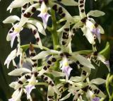 Epidendrum or Epicattleya
